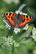 Small Tortoiseshell - photos Aglais urticae