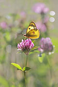 Pale Clouded Yellow - photos, Colias hyale