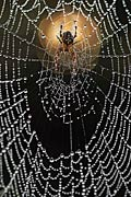 Cross spider - photos