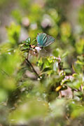 Green Hairstreak  - pictures
