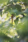 Black-tailed skimmer  - photos