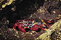 Red rock crab  - pictures
