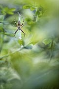 Photos - Wasp spider