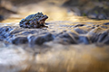 nature pictures - Common frog