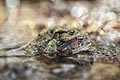 pictures - Common toad