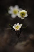 Wood anemone nature pictures