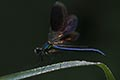 Banded demoiselle - nature photography