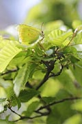 Brimstone butterfly - nature photography